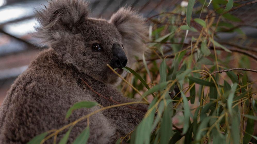 Foto: Los koalas se han visto desplazados de su hábitat por los humanos, los incendios y la sequía (Reuters/Australian National University)