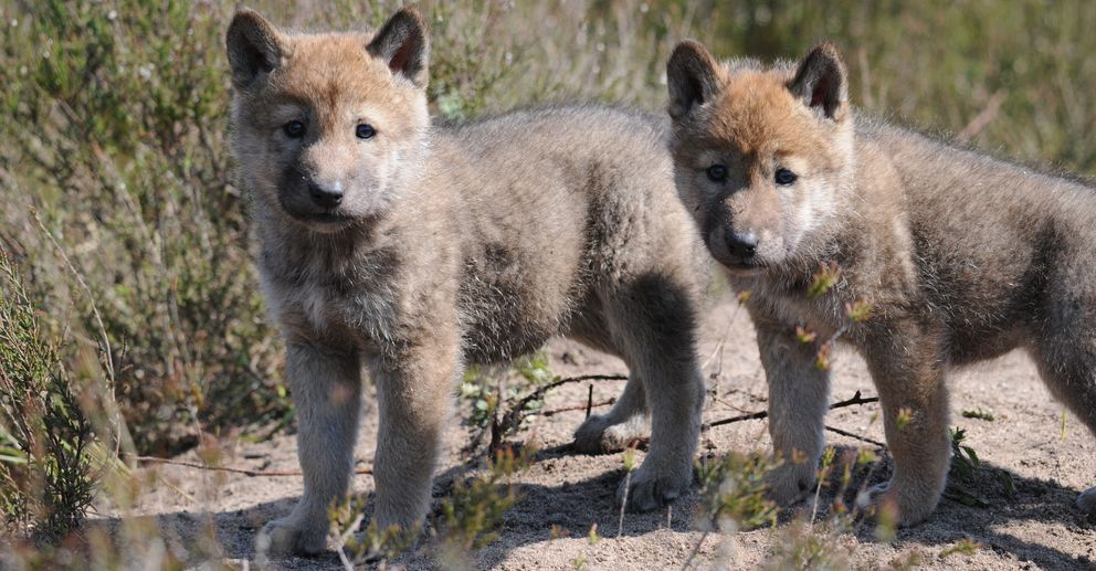 Foto: Cachorros de lobo en el oeste de Polonia