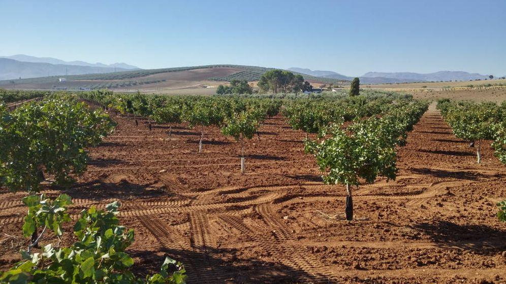 Foto: Cada vez más agricultores deciden pasarse al pistacho por su alta rentabilidad. (Pistachos Nazaríes)