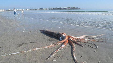 Encuentran un calamar gigante de 300 kilos y cuatro metros en una playa de Sudáfrica