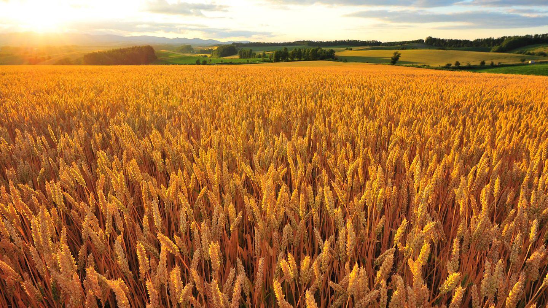 Campo de trigo. (iStock)