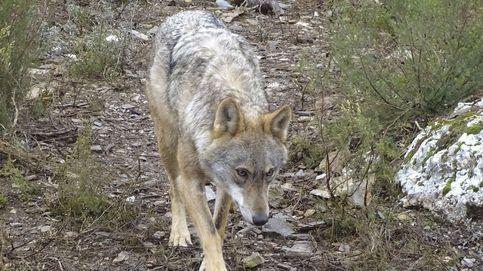 El lobo aúlla en Madrid: los ganaderos piden más ayudas tras 100 ataques el último año