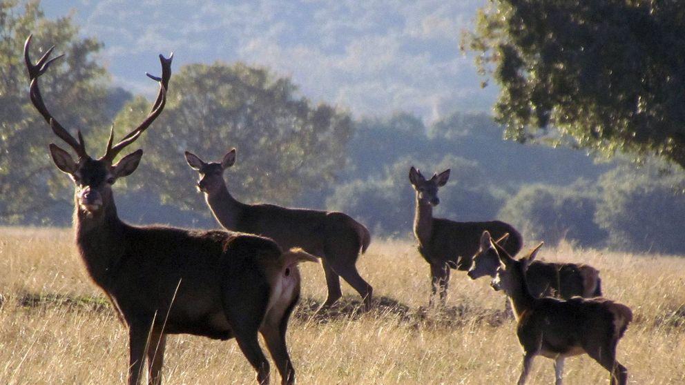 Las monterías, heridas por la crisis: menos cazadores y menos dinero