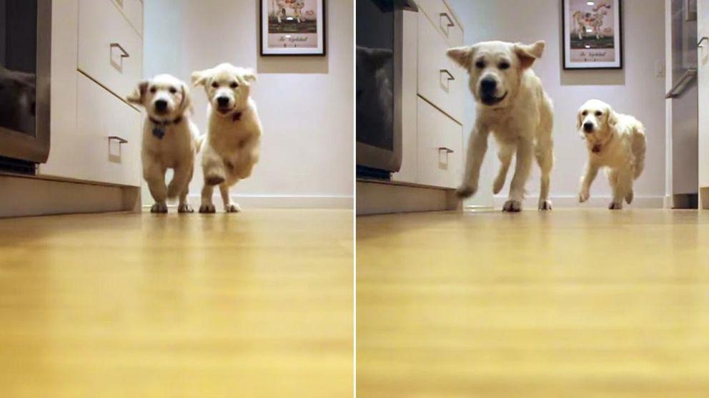 Mira cómo crecen estos dos cachorros durante sus locas carreras a por la cena