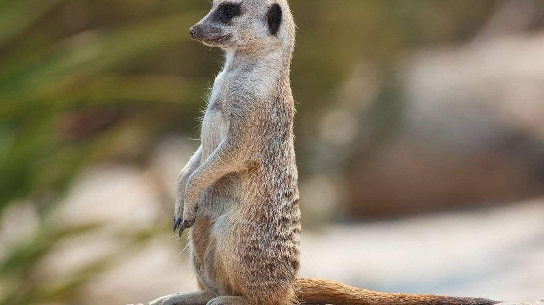 Tener una suricata (y estos otros animales) en España es legal, por raro que parezca