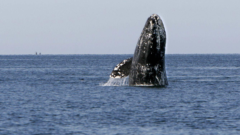 El largo viaje de la ballena gris: del Ártico a la Baja California
