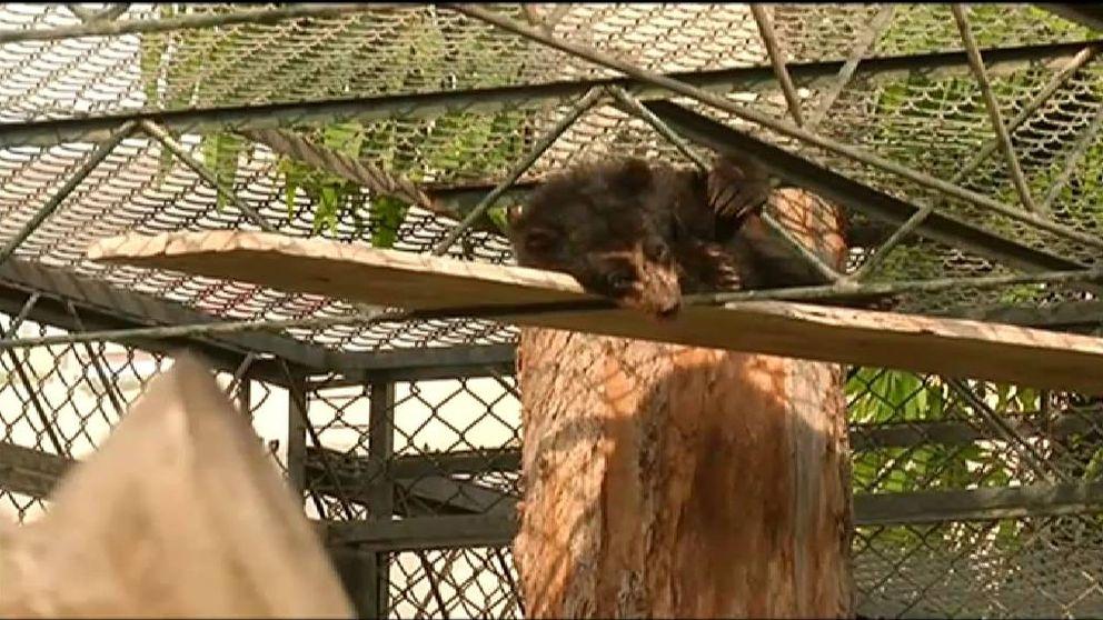 Rescatan moribundo a un oso de anteojos en Perú