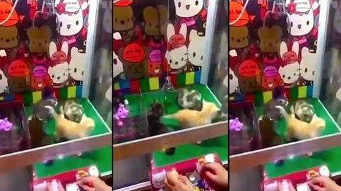 ¿Qué gato quieres? En China puedes escoger el que te guste en máquinas de gancho