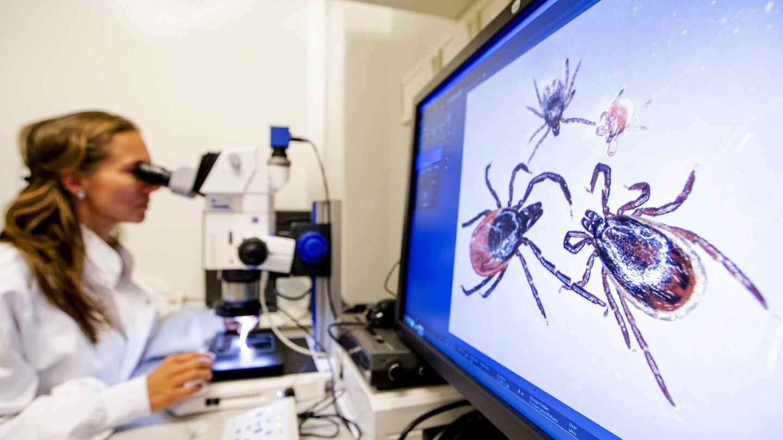 Varias garrapatas son estudiadas en el Instituto Nacional de Salud Pública y de Medioambiente en Bilthoven (Holanda). (EFE)