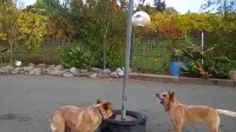 Estos perros juegan mejor que cualquier humano al Tetherball