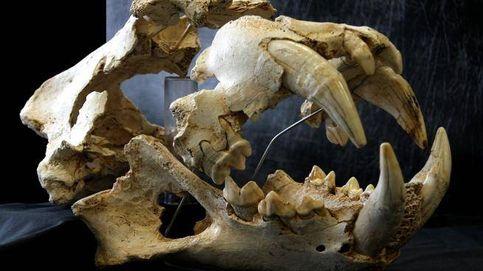 El león de las cavernas de Llanes, un ancestro paleolítico del 'rey de la selva'