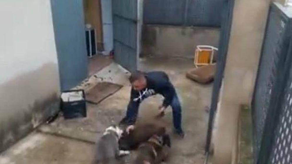 Dos perros destrozan un cachorro de jabalí mientras un hombre les jalea
