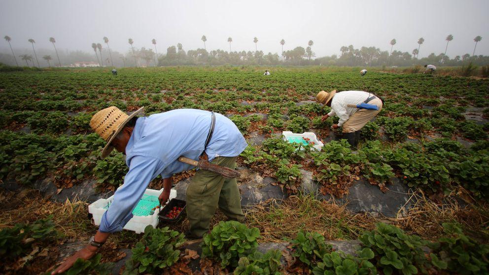 Los inmigrantes ilegales sin los que la agricultura de EEUU puede desaparecer