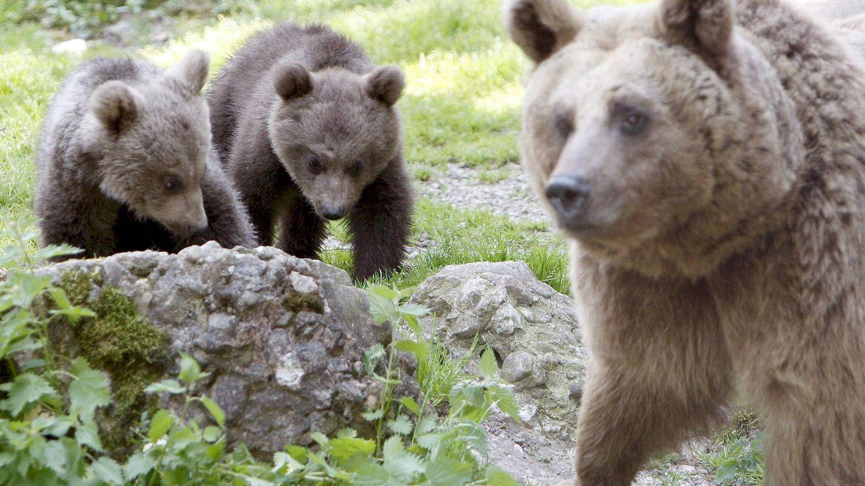 El ataque de un oso a una vecina del Parque Natural Fuentes del Narcea fue accidental y excepcional