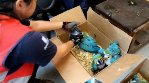 El contrabandista que llevaba a 59 guacamayos hacinados en su vehículo