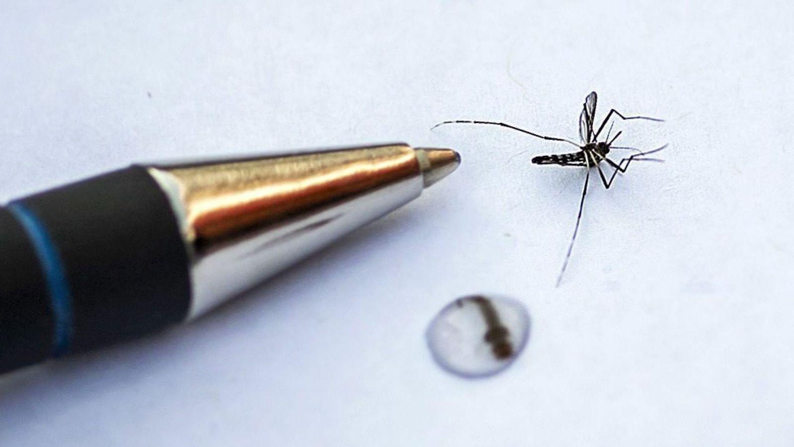 Foto: Detalle del mosquito tigre asiático. (Efe)