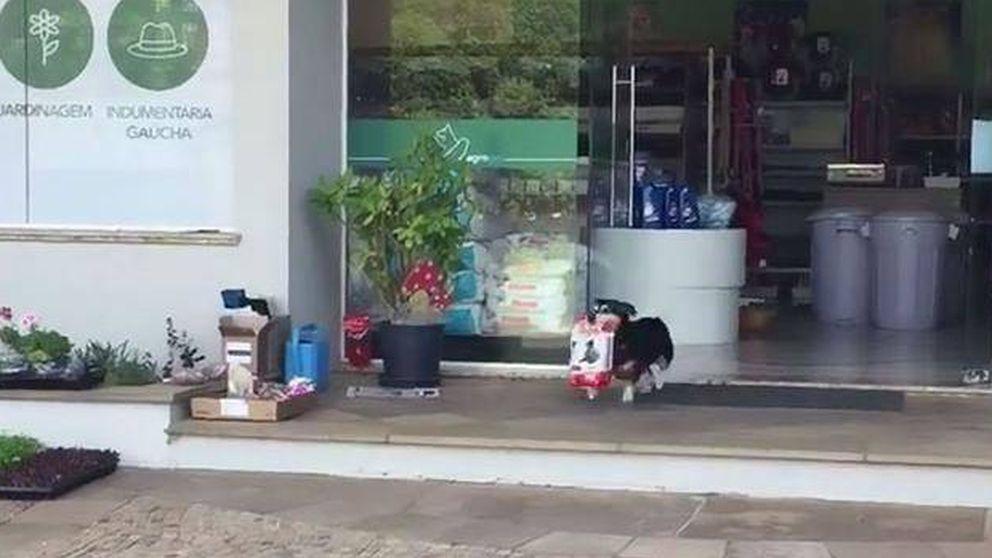 El perro que va solo a hacer la compra todos los días: Pituco