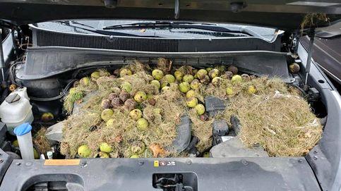 Unas ardillas llenan de nueces el capó de un coche como si fuera su almacén