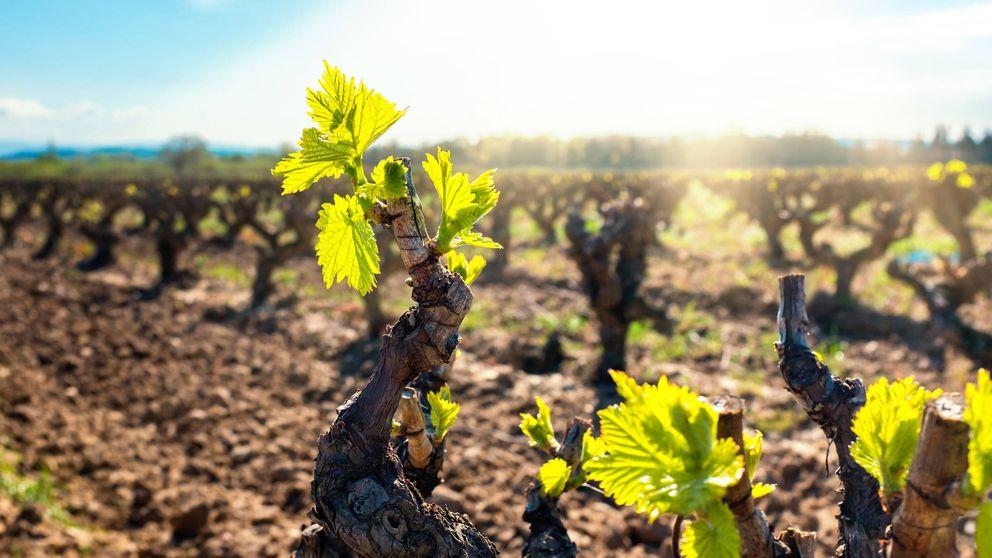 Arqueología vitícola y ADN: cómo reconstruyen vinos ancestrales