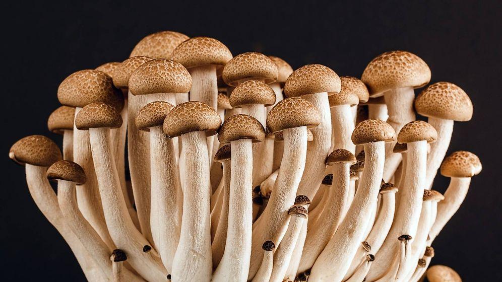 Foto: Las setas del hongo de miel es la única parte visible del gran hongo. (Pixabay)