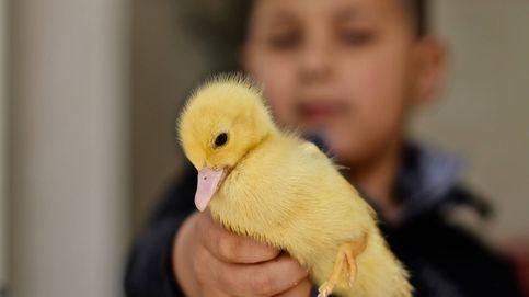Una moda de TikTok arrasa las tiendas de animales: No hay patos para tanta gente