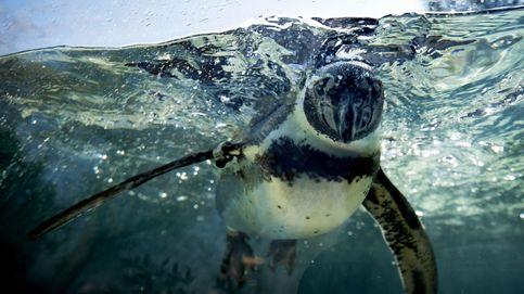Un pingüino recorre 2.500 kilómetros nadando por el mar de Tasmania