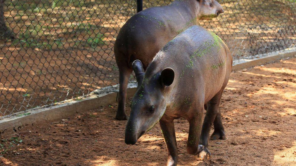 El hambre en Venezuela: roban dos tapires y un búfalo de un zoo para comérselos