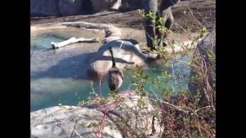 Este ganso no se deja intimidar por un elefante en el zoo