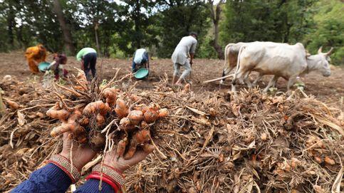 Cosecha de cúrcuma en India