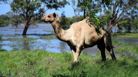 Australia sacrificará unos 10.000 camellos salvajes que compiten por el agua