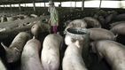 Científicos chinos alertan de una nueva gripe porcina que podría transmitirse a humanos