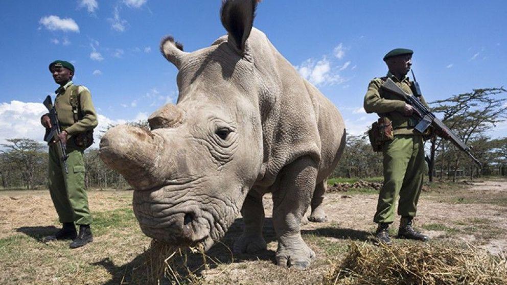 Fecundación 'in vitro', la última esperanza del rinoceronte blanco