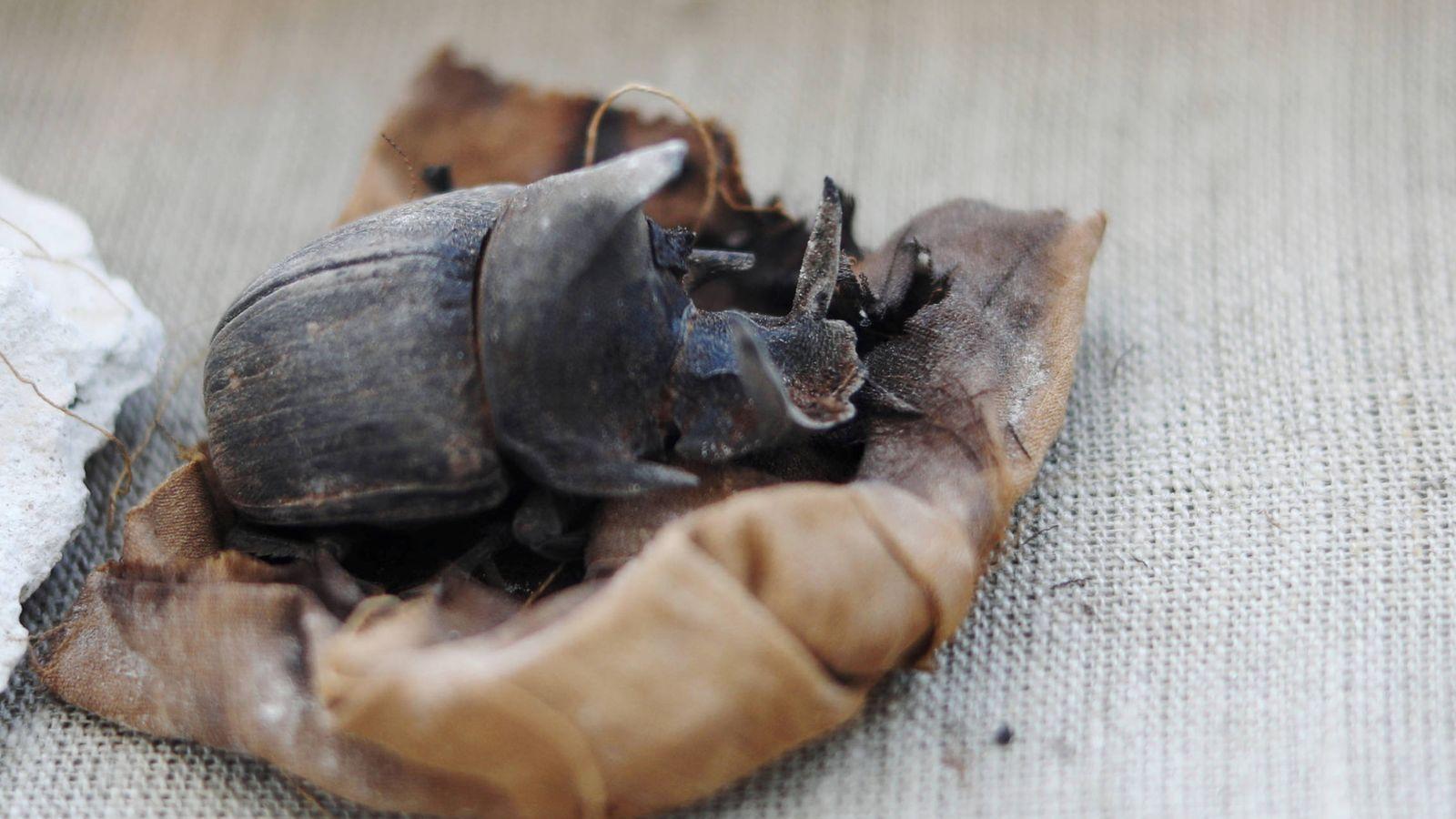 Egipto Un Increíble Hallazgo En Egipto La Primera Momia De Escarabajo De Hace 4 000 Años