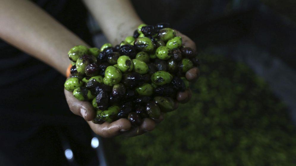 Foto: Mezcla de aceitunas de diversas variedades. (EFE)