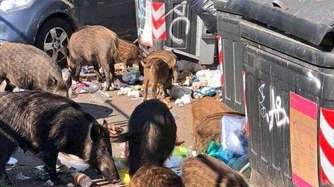 Invasión de jabalíes en Roma: Están asesinando a una madre y seis crías