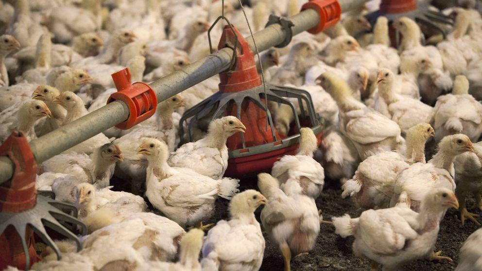 La carne de pollo y los problemas que puede causar a tu salud