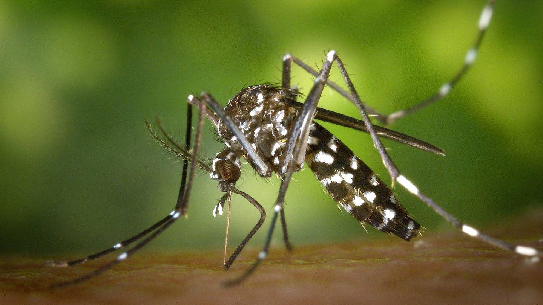 Un ejemplar de mosquito tigre pica a una persona (Pixabay)