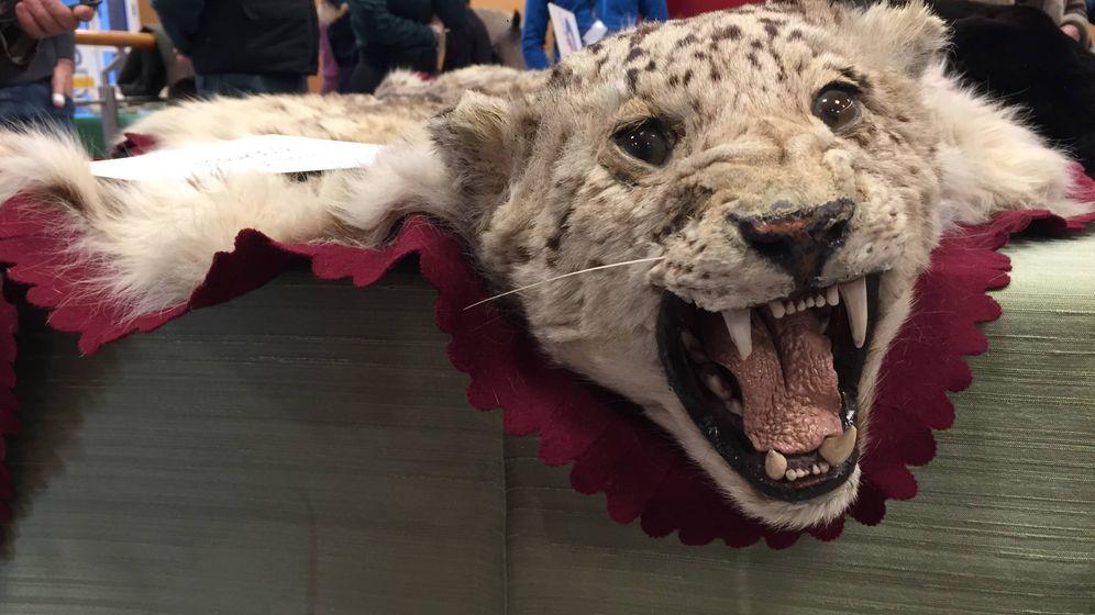 Foto: Un ejemplar de leopardo decomisado por la Guardia Civil. (A. V.)