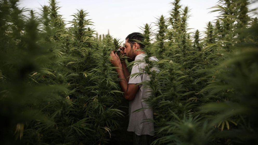 A vueltas con el uso terapéutico del cannabis