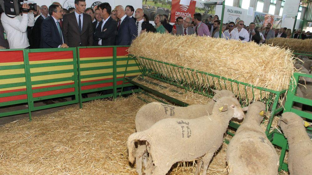Foto: El presidente del Gobierno en funciones, Pedro Sánchez, en la inauguración de la Feria Internacional Ganadera de Zafra (Badajoz). (EFE)