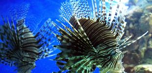 Post de ¿Son ciertas las historias sobre los rugidos del pez león? Así es su 'voz'
