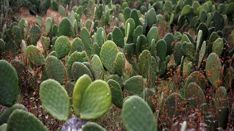 Una mujer, condenada en Nueva Zelanda por entrar con 1.000 cactus adheridos al cuerpo