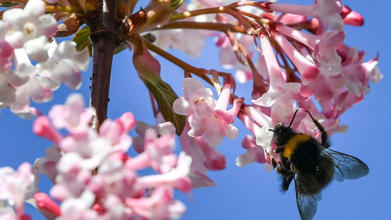 Foto: Una abeja recoleta néctar de una flor de cerezo. EFE Philipp Guelland