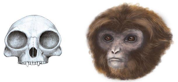 Foto: Reconstrucción de cráneo y de la apariencia de Pliobates cataloniae. / Marta Palmero (Instituto Catalán de Paleontología Miquel Crusafont)