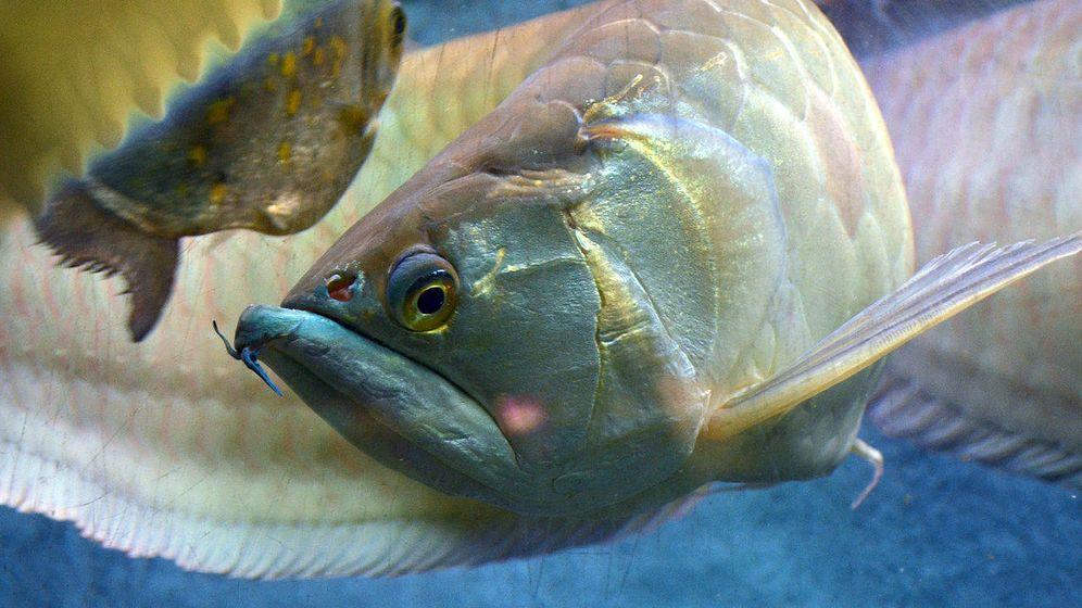 Foto: El pez dragón. (Wikipedia)