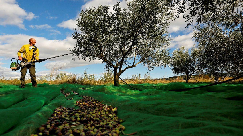 Andalucía se prepara para el primer varapalo de Trump a sus aceitunas de mesa
