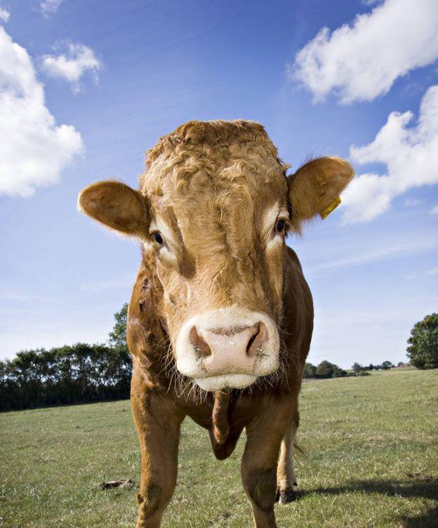 Foto: Una vaca de la especie limusina, como 'Hermien'. (iStock)