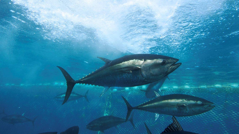 Foto: Ejemplares de atún rojo en una granja de engorde de Malta. (Oceana / Keith Ellenbogen)