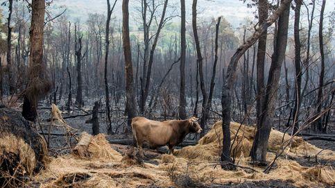 Más de 3.000 ganaderos gallegos se quedan sin pasto para sus vacas tras los incendios