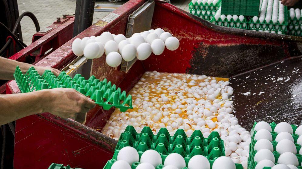 Foto: Una granja avÍcola desecha miles de huevos contaminados (EFE)
